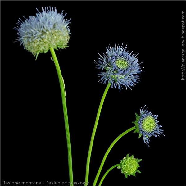 Jasione montana flower - Jasieniec piaskowy kwiat w różnych fazach rozkwitu