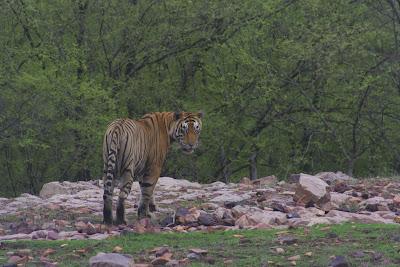 Tigre mirando
