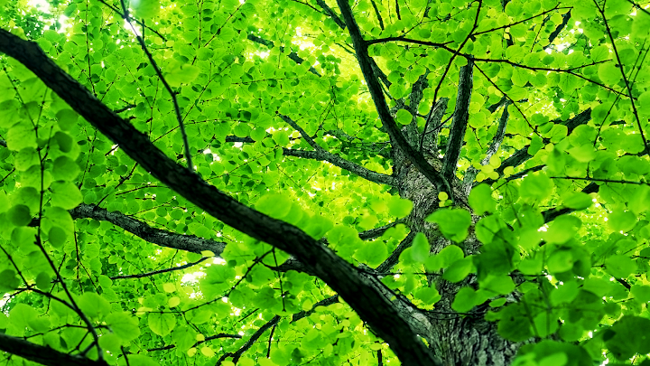spring tree leaves wallpaper