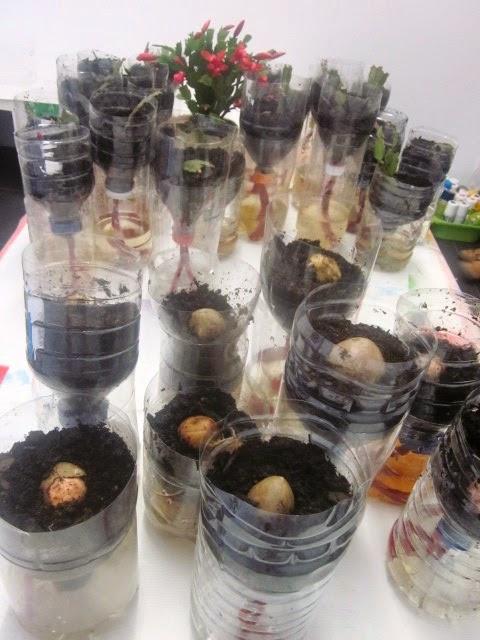 Plantando cactus de navidad en macetas de autorriego - Macetas con autorriego ...