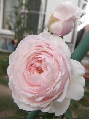 Hồng Misaki với màu hồng phấn tuyệt đẹp