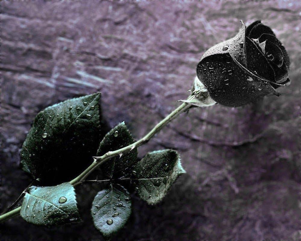 Tìm ảnh hoa hồng đen