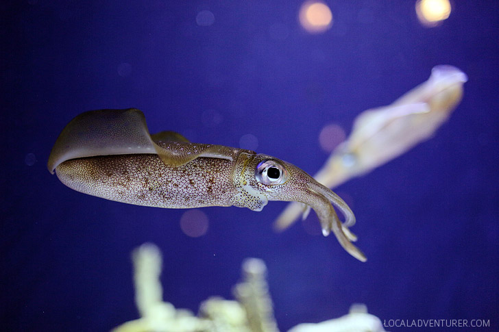 Bigfin Reef Squid (Things to See in Monterey).