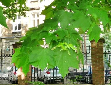Klon pospolity liście i skrzydlaki Acer platanoides