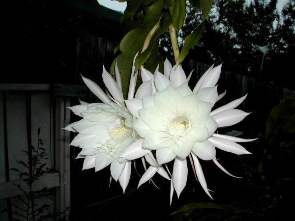 Ảnh hoa quỳnh đẹp nở ban đêm
