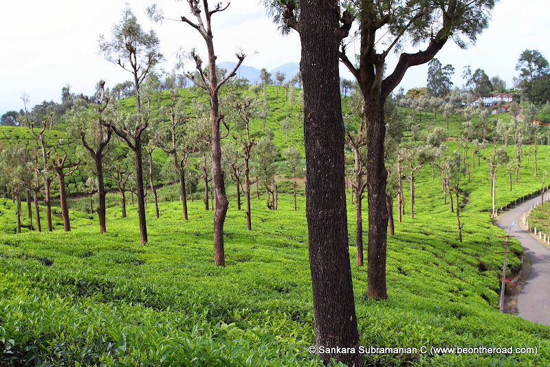 Waves of GREEN - Tea Estates at Valparai