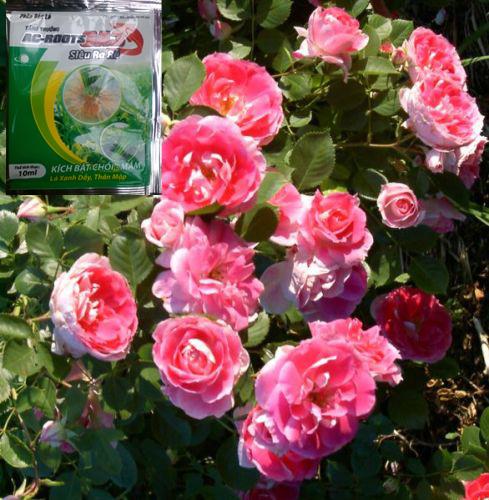 Bón phân cho cây hồng vào thời điểm nào trong ngày