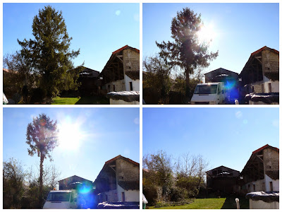 French Village Diaries pine tree removal