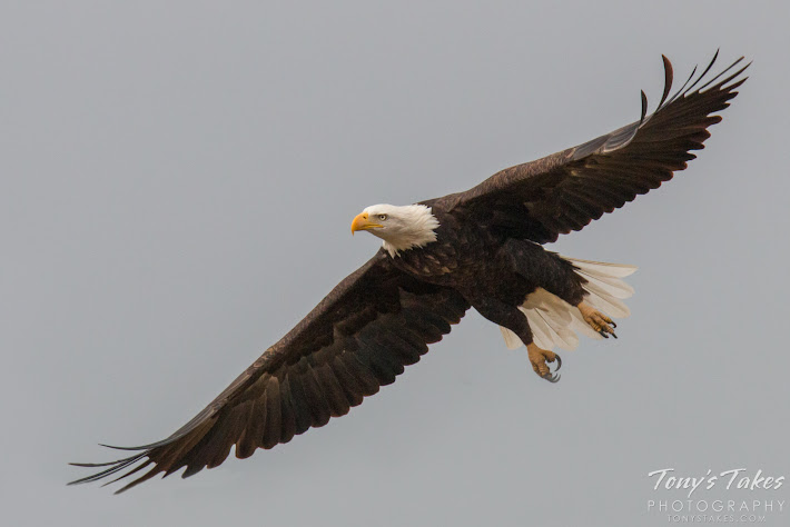 Bald Eagle takes flight sequence. 4 of 7.
