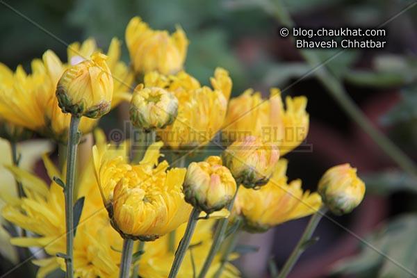 Chrysanthemum flowers - Guldaudi flowers