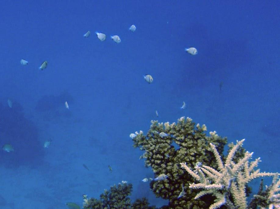 Dascyllus reticulatus (Two Stripe Damselfish), Naigani Island, Fiji.