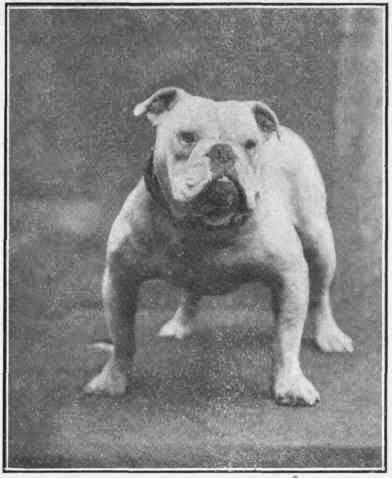 Bull Dog século XIX