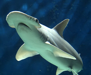 Image result for bonnethead shark