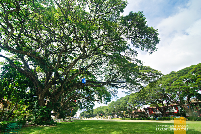Lush Old Trees at Dumaguete's Silliman University