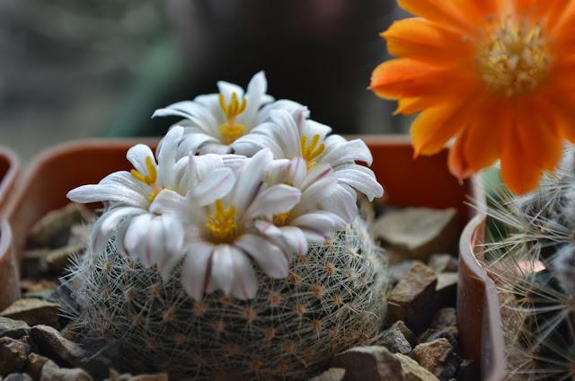Наши кактусы - Страница 34 DSC_1106
