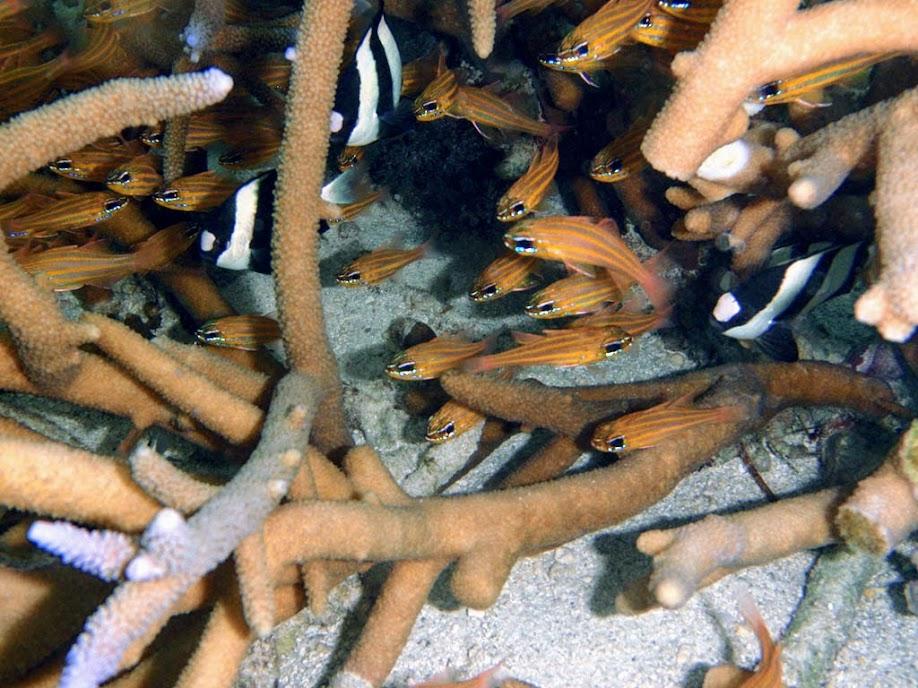 Apogon cyanosoma (Yellowstriped Cardinalfish), Naigani Island, Fiji