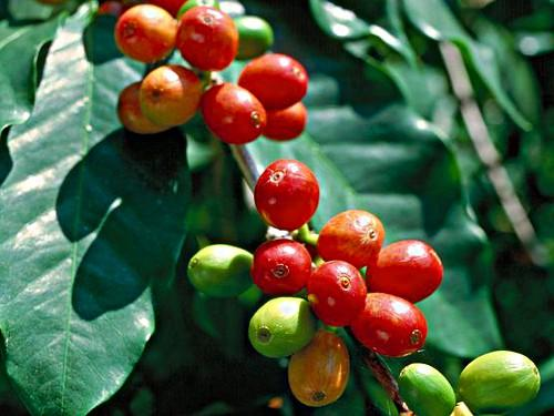 Image result for Coorg Arabica Coffee