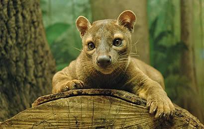 Madagascar's Fossa