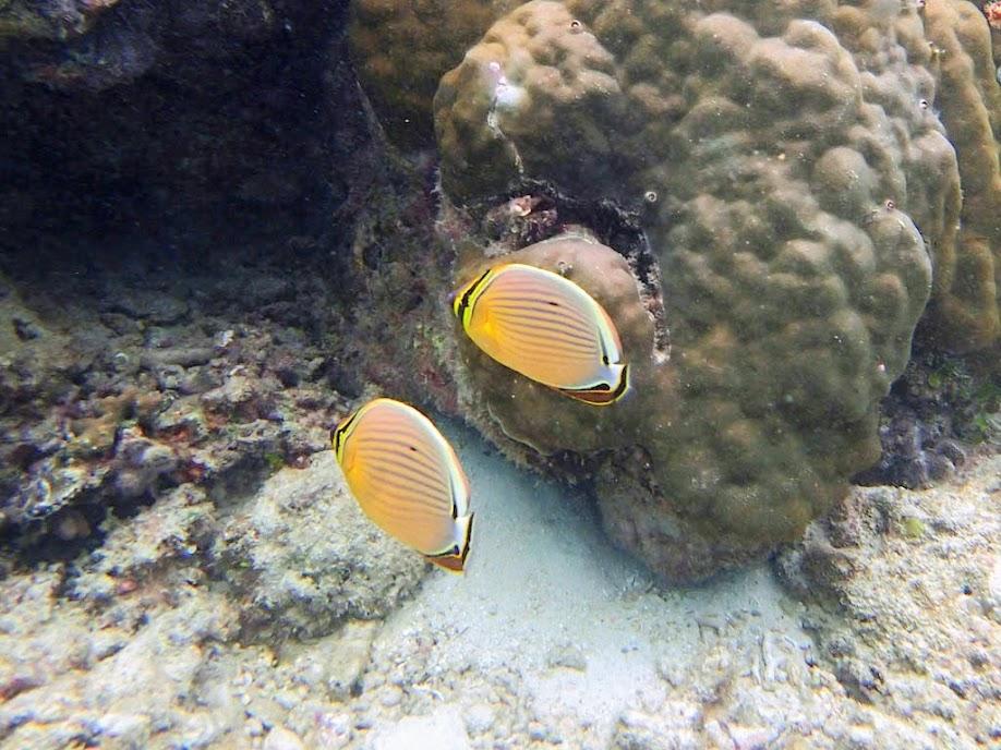 Chaetodon lunulatus (Oval Butterflyfish), Miniloc Island Resort reef, Palawan, Philippines.