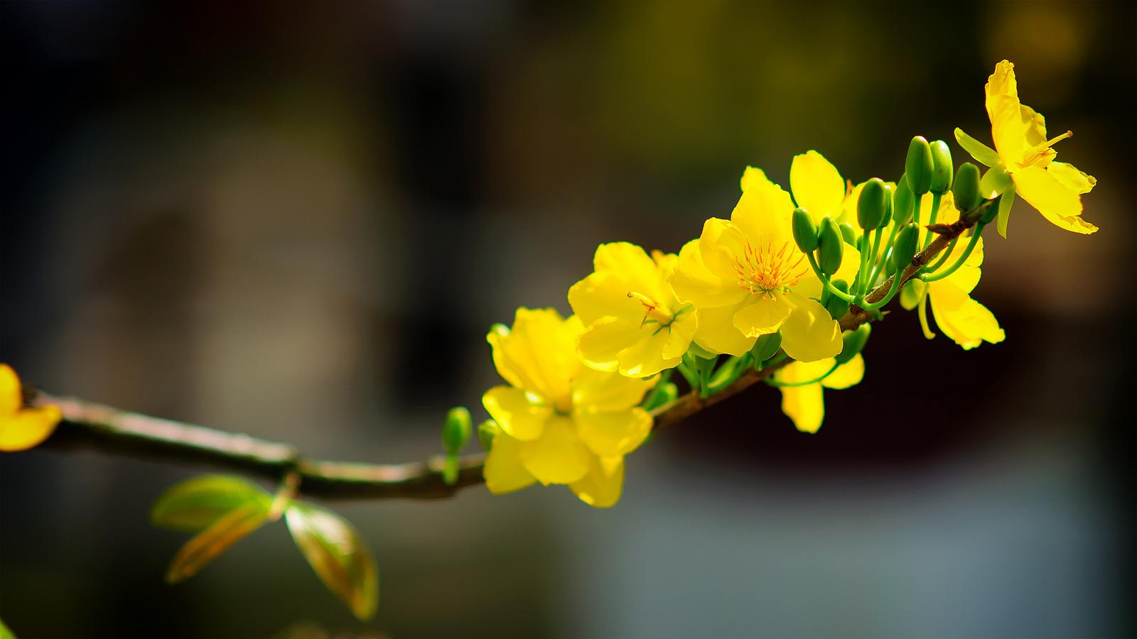 ảnh hoa mai vàng đẹp