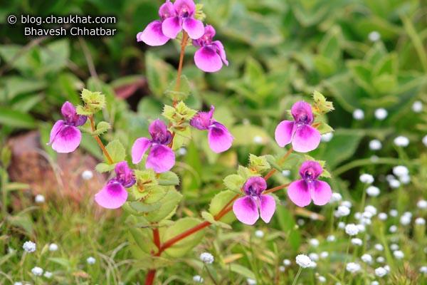 Purple Orchids Plant at Kas Plateau