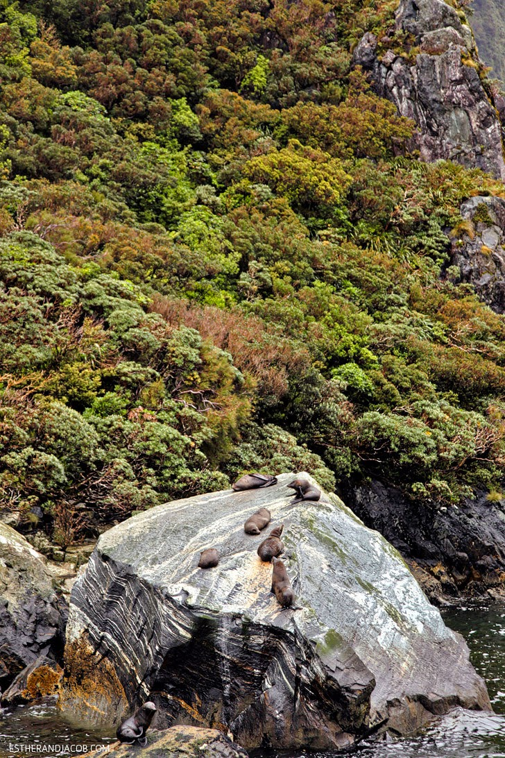 New Zealand Sea Lions at Milford Sound | Day 5 New Zealand Sweet as South Contiki Tour | A Guide to South Island