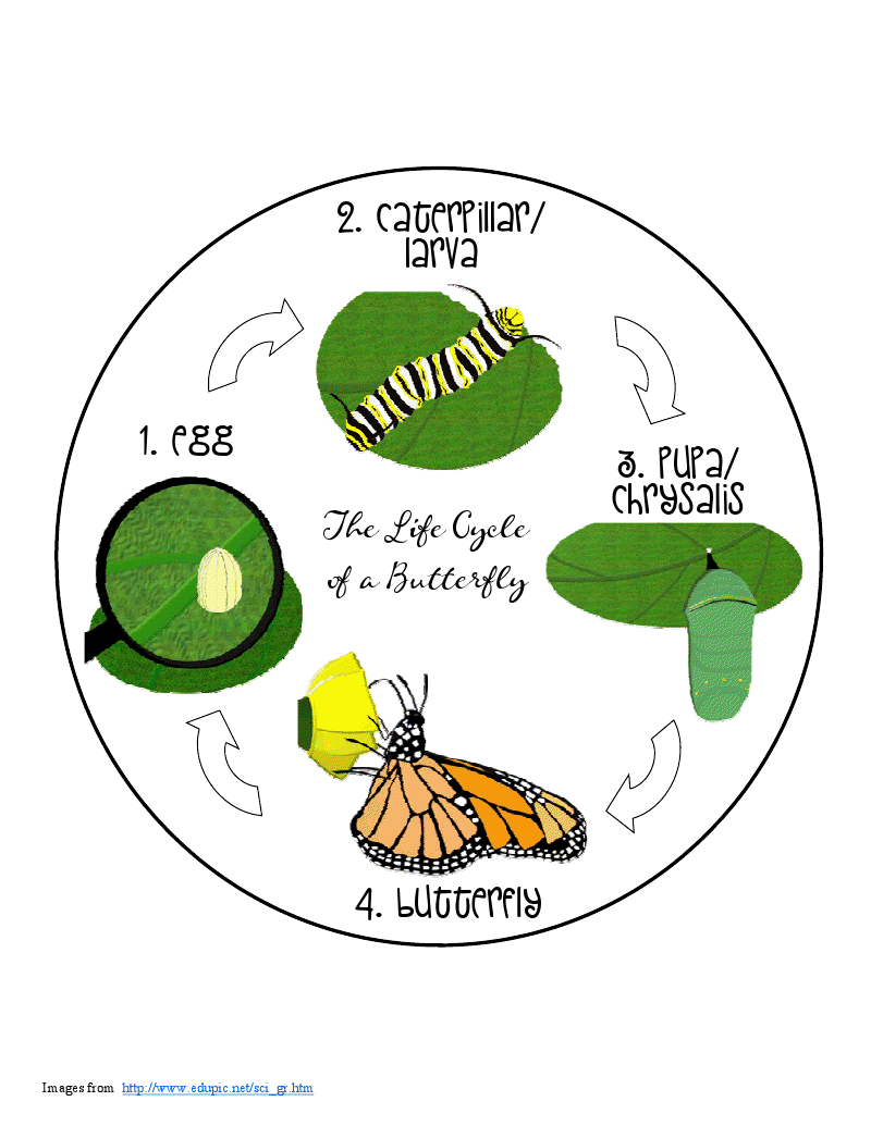 Butterfly Life Cycle The life cycle of a butterfly