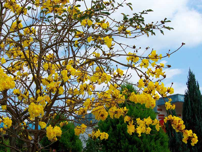 Ryukyu life flower photos the golden trumpet trees in okinawa japan this shot i made to show the tree has some leaves on it some of the rocket scientists claim this golden trumpet tree never gets any leaves just flowers mightylinksfo