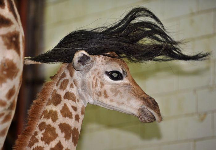Little Giraffes Getting A Nice Hairdo