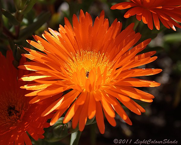Orange ice flower close-up