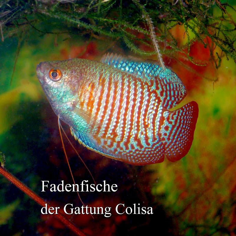 Colisa lalia Männchen, die Naturform