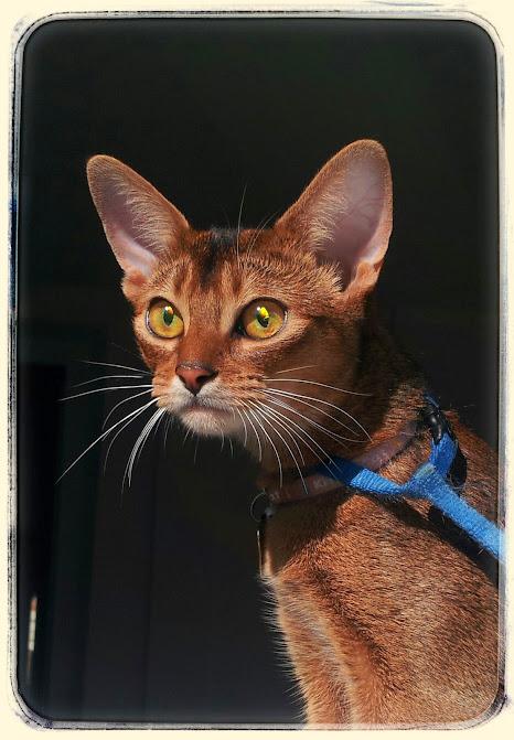 #абиссинская кошка, #Shafran Fair Farabi