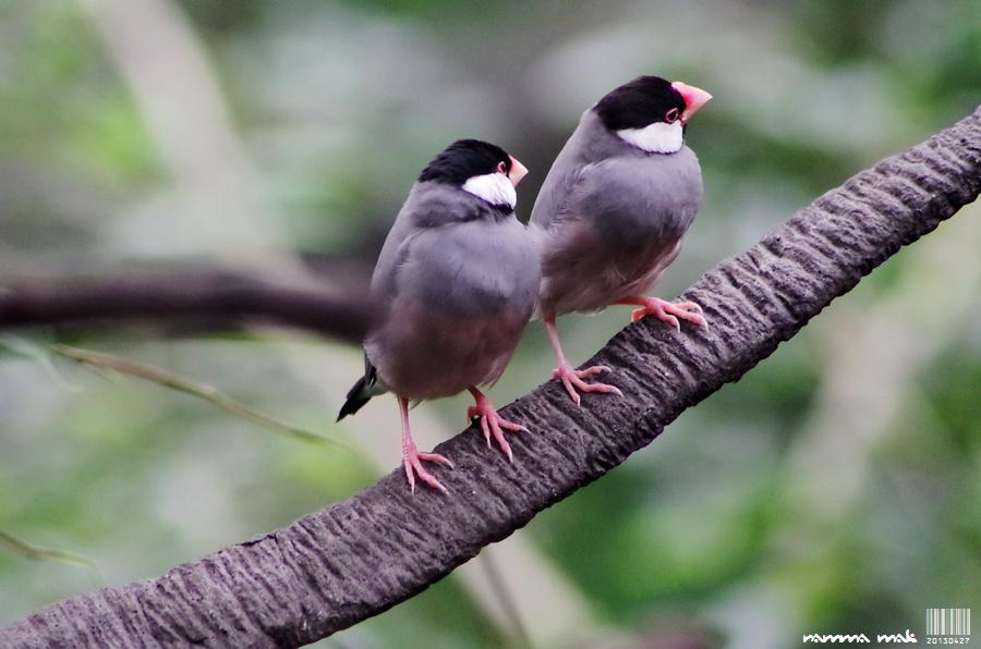 香港公園試拍鳥