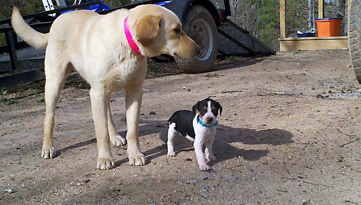 Dr Andy Mathis The Animals And Other Stuff Bessie Walker Hound Puppy