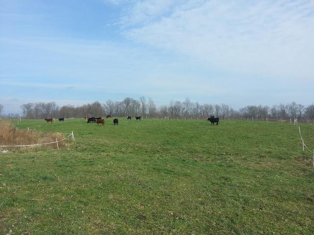 Heifer's enjoying the sunshine.