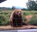 سلام الدببة