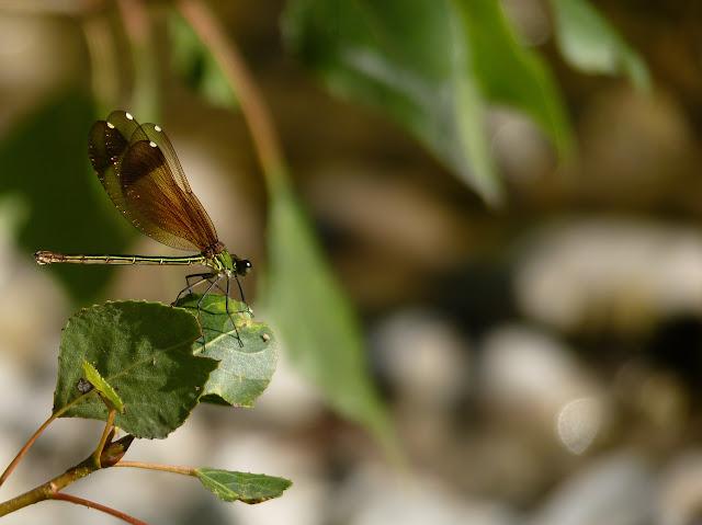 Petite serie de libellules et de de demoiselles! P11302011