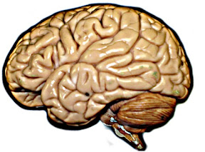 Quiz brain function brain ccuart Image collections
