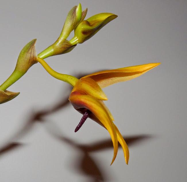 Bulbophyllum carunculatum n2 P1420742