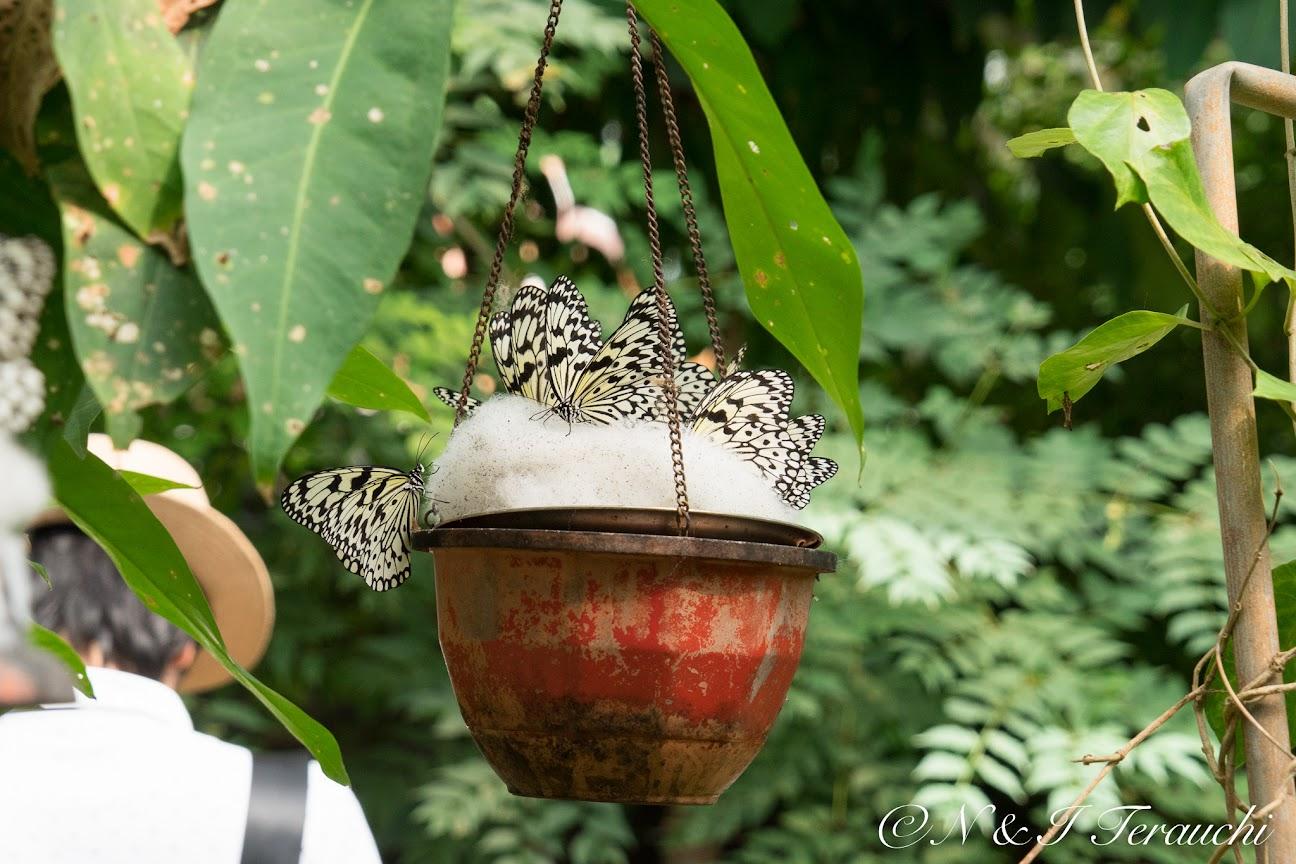 オオゴマダラ(羽を広げると幅約13cmほどの大きな蝶)