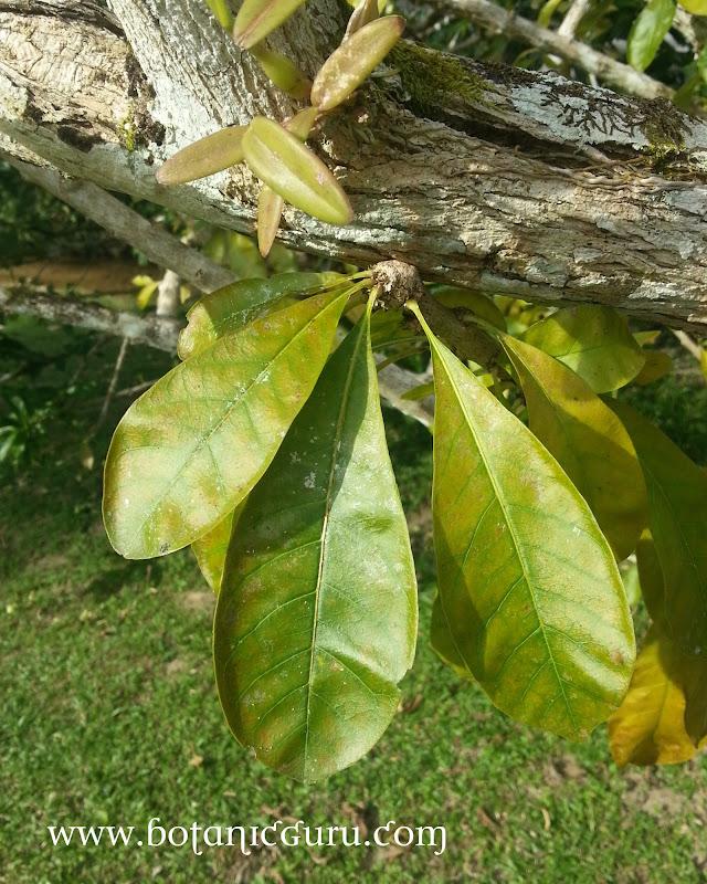 Crescentia cujete, Calabash Tree, Gourd leaves