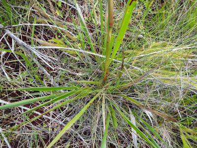 Saccharum asperum http://sites.google.com/site/florasbs/home  São Bento do Sul - Santa Catarina