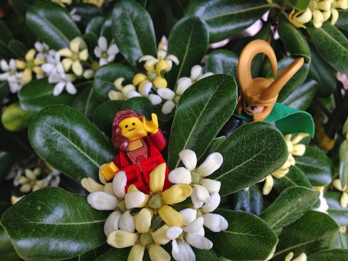 shrub-pittosporoum2.jpg