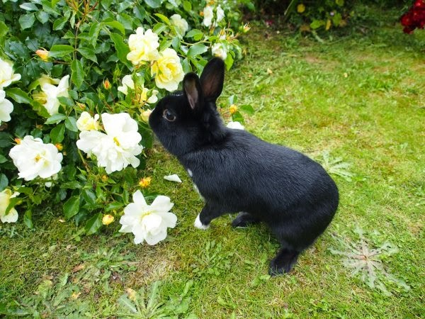 Prince, petit lapin noir-[adopté] Prince11-ccddb