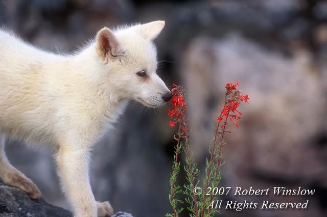 animals, photo, wolf