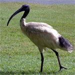 Ibis moluqueño / Foto: Guillaume Blanchard -GNU