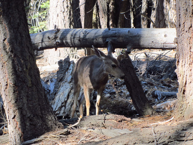 a mule deer out foraging in the morning