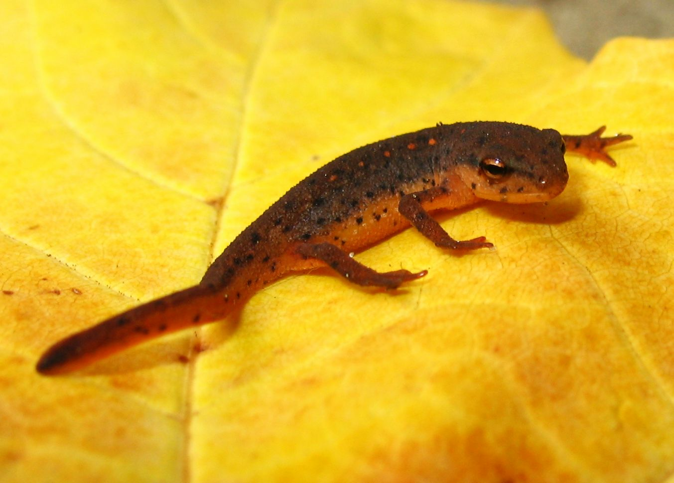 Newt Care People commonly keep fire bellied newts paddle tail newts ...