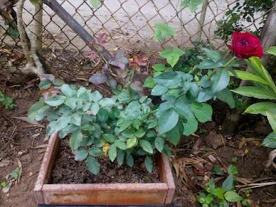 Hình cây hồng Mona Lisa Rose thực tế. Giá tham khảo 350k