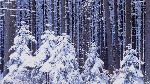 Snowy Forest, Czech Republic.jpg